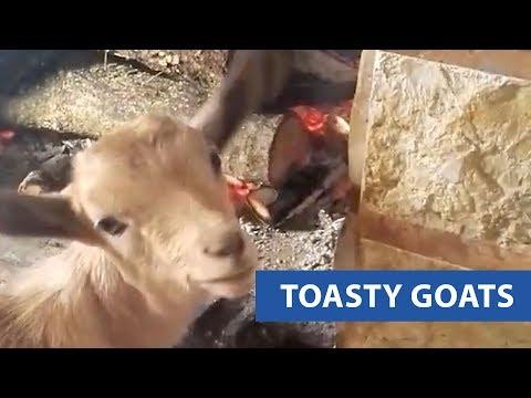 Goats Get Warm By Fire