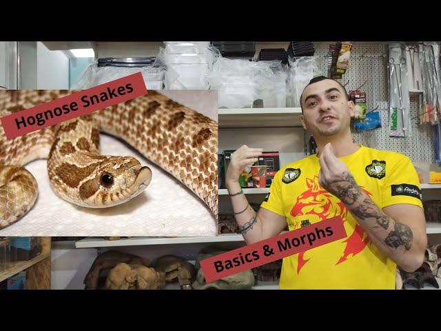 Hognose Snakes Basic & Morphs | Feeders Strs 65