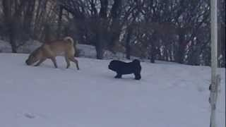 Shar Pei Puppy Playing In Snow - - Vistarolls Shar Pei Breeder Canada
