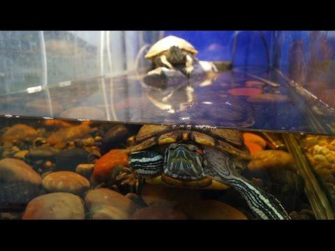 Красноухие черепахи - Описание, содержание и уход