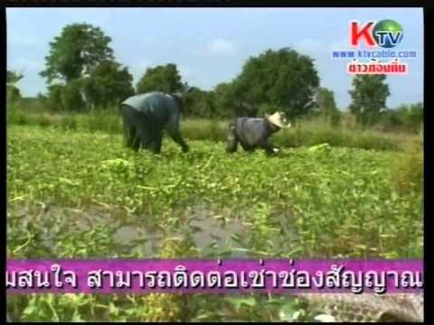 พลิกวิกฤตปลูกผักบุ้งช่วงน้ำท่วม