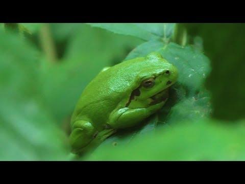 Boomkikkers ~ RAVON Hemelvaart Weekend 2014 / European Tree Frog ~ Herping The Netherlands