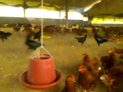 ฟาร์มไก่ไร้กรงแบบธรรมชาติ(OrganicChickFarm)