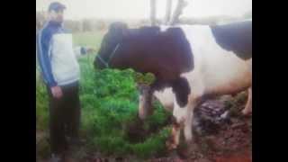 elevage  des vache laitiére au maroc fes sais  abdelmounaim elhamdaoui