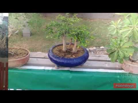 Pakistan Bonsai Tree Annual Exhibition at Zamzama Park