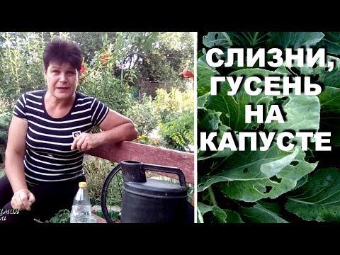 Гусеницы и слизни на капусте  Народные методы борьбы с вредителями капусты
