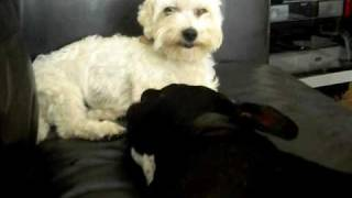 French Bulldog Batman And Maltese Bichon Belfry