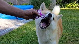 Akita Inu Dog vs. Fidget Spinner