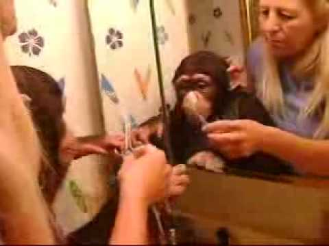 Noah the baby chimp learning to brush his teeth