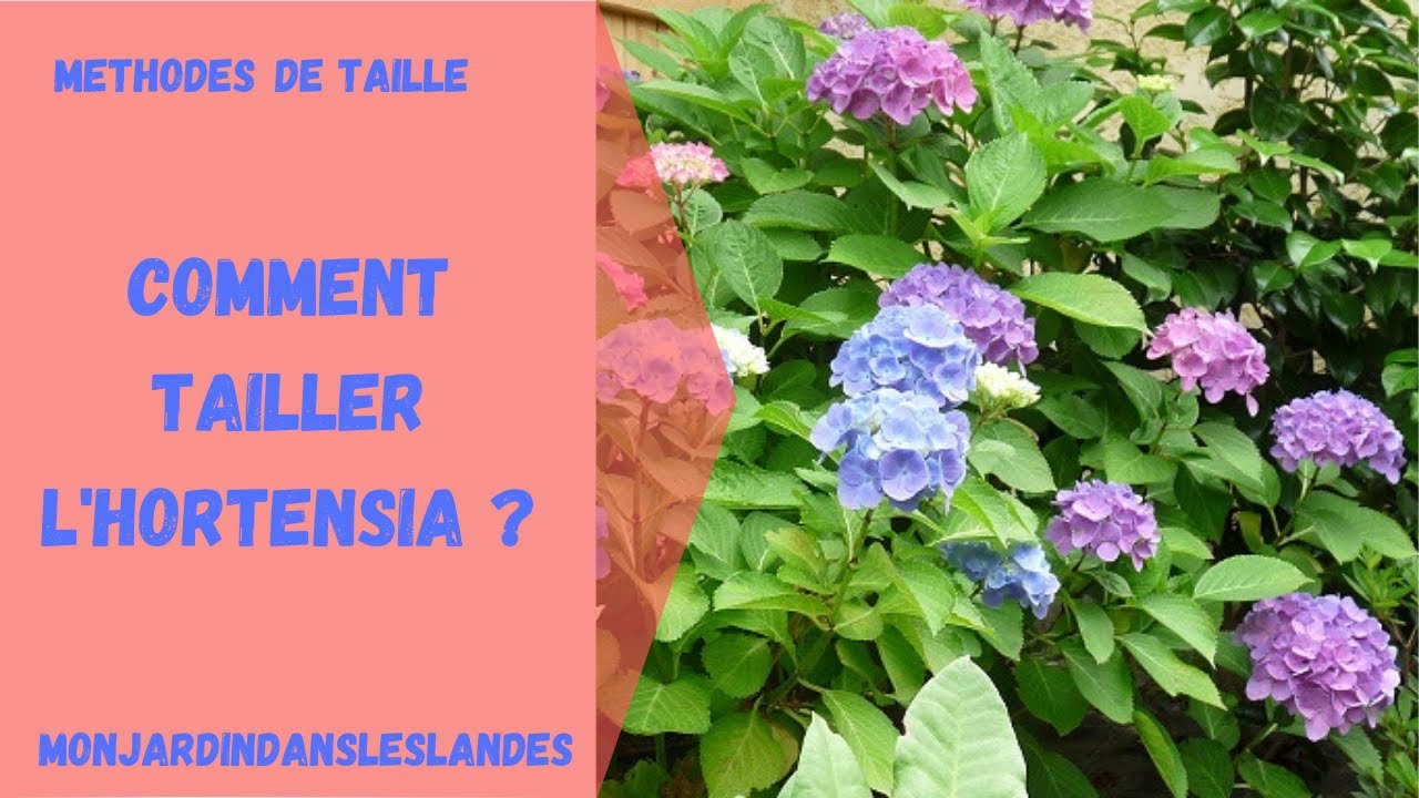 Comment tailler l 39 hortensia youtube - Comment tailler les hortensias ...