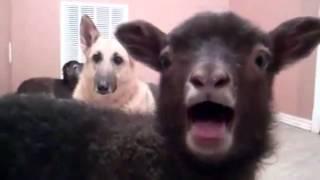 ПРИКОЛ   ! Говорящий козел и собака в шоке