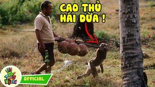 Những Chú Khỉ Thông Minh Được Huấn Luyện Để Trở Thành Cao Thủ Hái Dừa - Tốp 5 Kỳ Thú