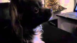 Chihuahua Dani Is Tired Of Miniature Pinscher Lexi
