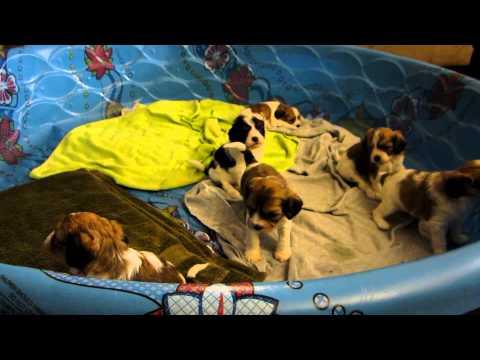 Plum Creek Cavachons week 5 part 2 - puppy overload