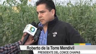 Grupo Agrícola de Chiapas detona producción de tomate en la meseta comiteca