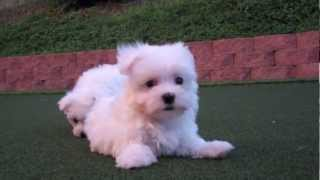 Maltese Teacup Female Puppy Available For Adoption San Diego, Ca