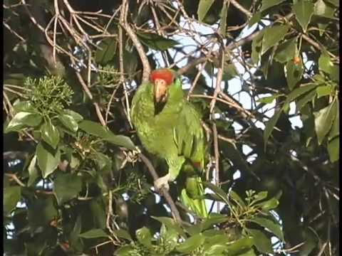 Green-cheeked Amazon parrot feeding in Los Angeles