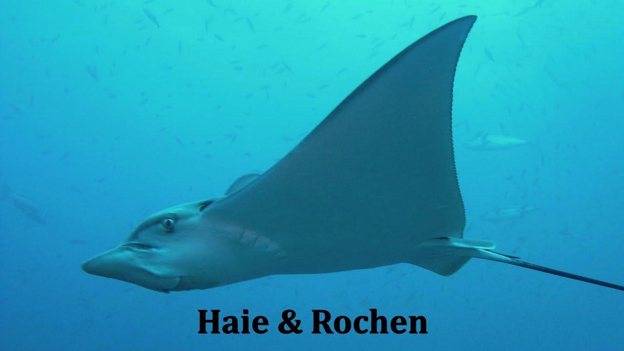 Rochen Tattoo: Haie Und Rochen