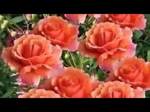 Английские розы Дэвида Остина, розы Тантау!