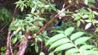 奄美大島で見たリュウキュウハグロトンボ