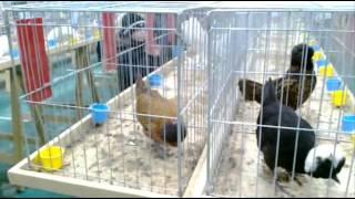 Wystawa gołębi rasowych i drobiu ozdobnego - Kobylnica 6.01.1013