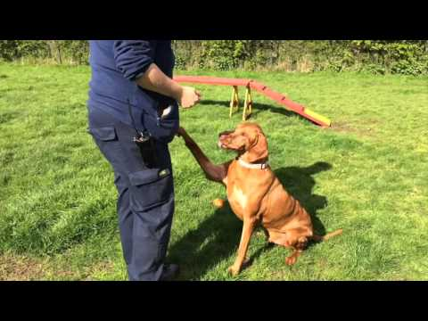 ** REHOMED! ** RSPCA Rehoming: Rocket the male Hungarian Vizsla (dog)