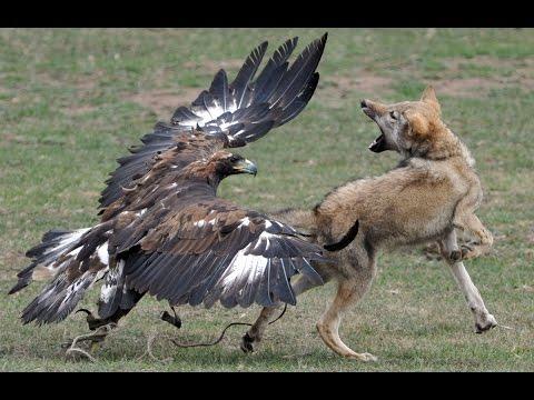 Охота на волка с беркутом в Казахстане