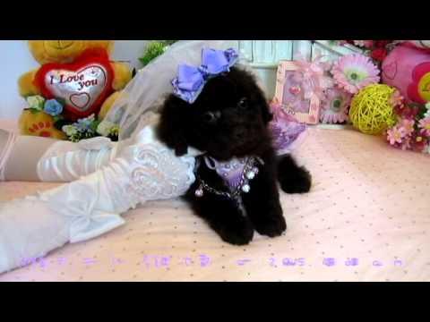 Toy Teacup Poodle Puppy #100 - Teacup Poodle,Toy Poodles,Pocket Teacup poodle,Puppies For Sale