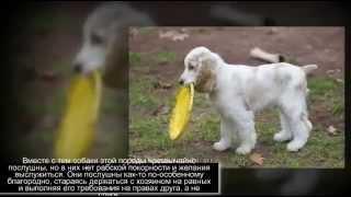 Маленькие породы собак Английский кокер спаниель