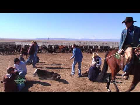 Livestock Branding