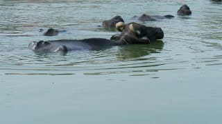 Closeup shot of Asian water buffaloes enjoying swimming at the riverbanks - Village Talab or Pond