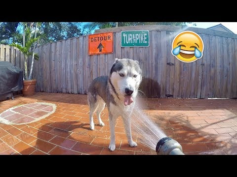 My Husky Needs A Shower!