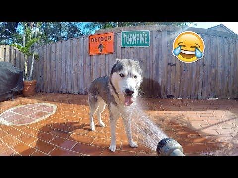 My Husky Needs A Shower!