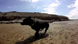 Staffordshire Bull Terrier   Buster   Hunstanton Beach