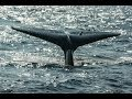 Sri Lanka Mirissa Whale Watching Blauwal Amazing Beautiful Blue Whale video