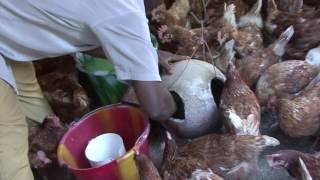 Burkina Faso. Unité avicole à Ouagadougou