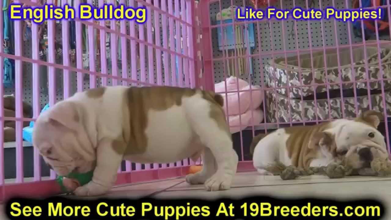 English Bulldog, Puppies, Dogs, For Sale, In Virginia Beach, Virginia, VA,  19Breeders, Chesapeake