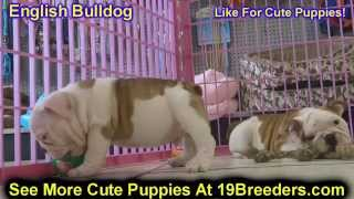 English Bulldog, Puppies, For, Sale, in, Mobile, County, Alabama, AL, Huntsville, Morgan, Calhoun, E