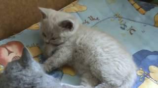 Утро. Подъем. Британские котята. Silvery Snow