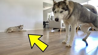 left-my-husky-home-alone-with-another-husky