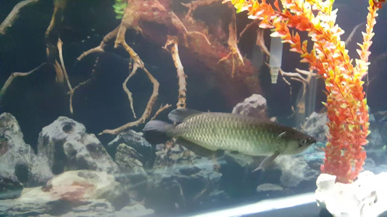 Freshwater fish cloudy eyes - Jardini Arowana Cloudy Eye Treatment Zeus The Huge Tiger Oscar Nipped Fins