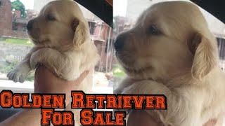 Golden Retriever Puppies For Sale|| pets on cart