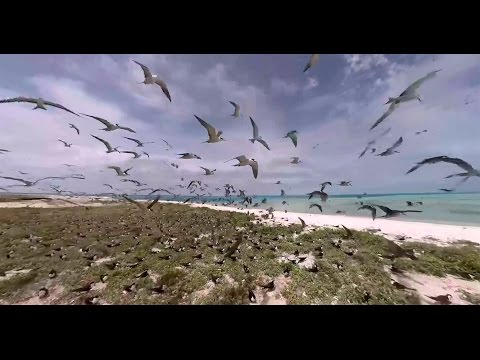 Tern Colony on Pearl and Hermes Atoll