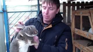 видео Породы кроликов: карликовый кролик рекс