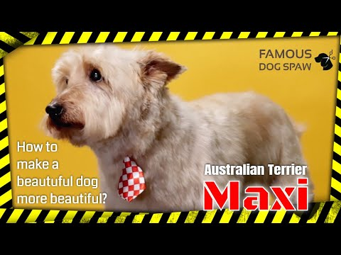Maxi the Beautiful Australian Terrier become more Beautiful by the Master Groomer: Famous Dog Spaw