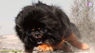 أخطر 10 كلاب في العالم
