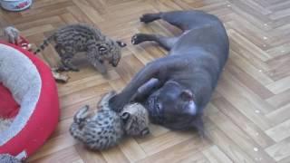 котята сервала 14 дней и французский бульдог 7 мес.