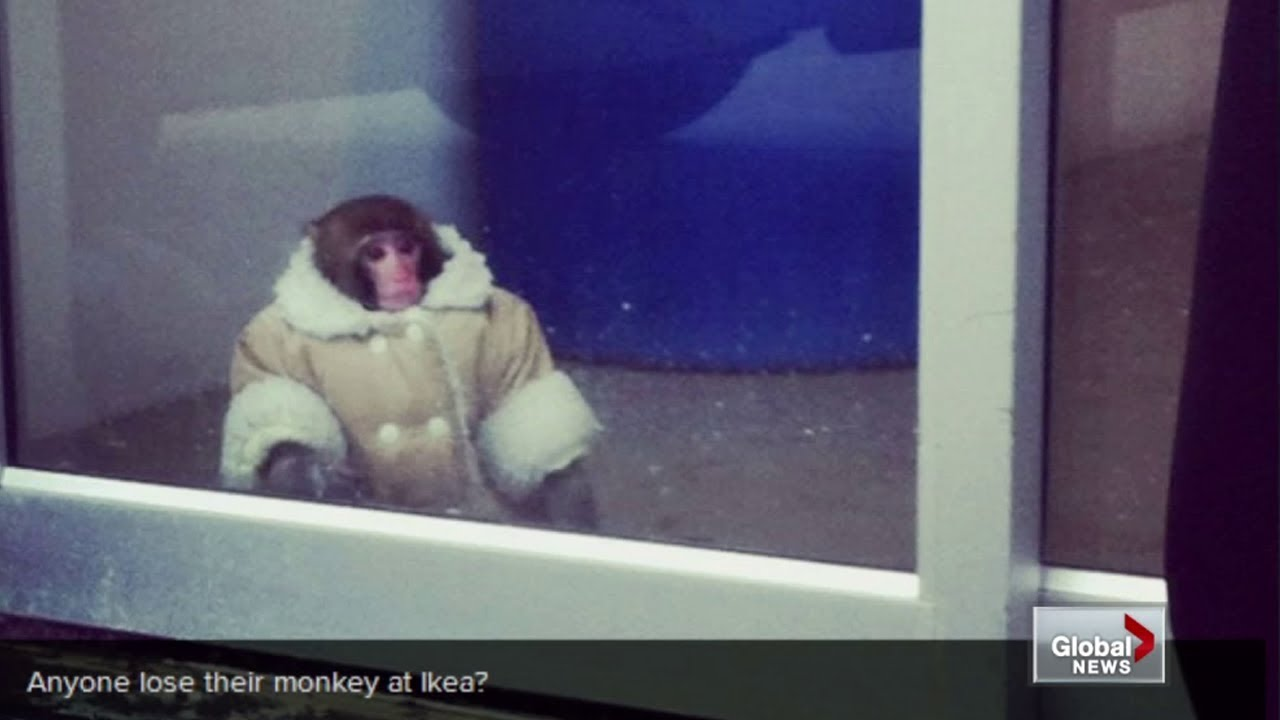 Funny Pictures Of Monkeys Wearing Clothes