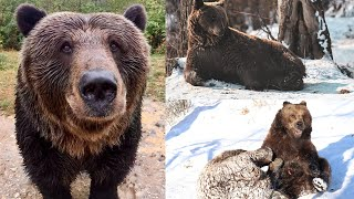 Preview of stream Libearty bear Sanctuary Zarnesti