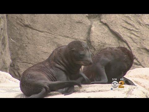 Sea Lions Make Zoo Debut